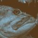 Wisdom From Fish Vomit